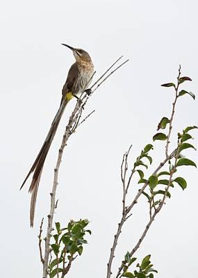 Male Cape Sugarbird Poster by Tony Camacho