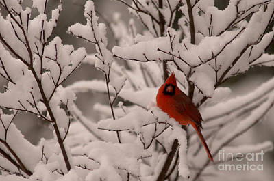 Male Cardinal Amongst Snowy Branches Poster