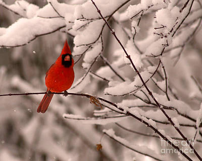Male Cardinal In Snow Poster