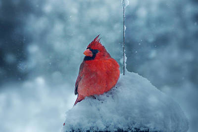 Male Cardinal In The Snow Poster by Sandy Keeton