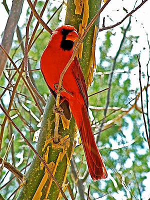 Male Cardinal In Tucson Sonoran Desert Museum-arizona Poster by Ruth Hager