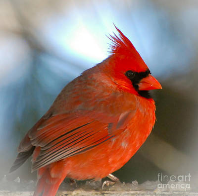 Poster featuring the photograph Male Cardinal  by Kerri Farley