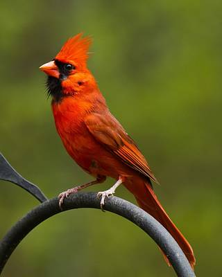 Poster featuring the photograph Male Cardinal by Robert L Jackson