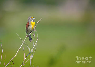 Male Dickcissel Poster