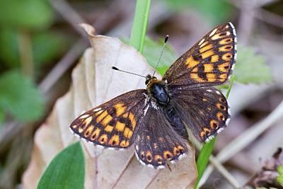 Male Duke Of Burgundy Butterfly Poster