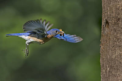 Male Eastern Bluebird Poster by Susan Candelario