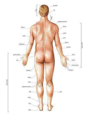 Male External Anatomy Poster by Asklepios Medical Atlas
