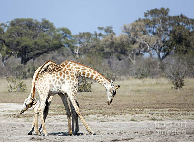 Male Giraffes Necking Poster