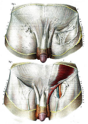 Male Groin Anatomy Poster by Collection Abecasis