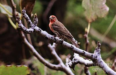 Male House Finch Poster by Craig Wood