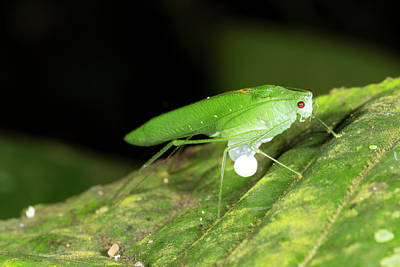 Male Katydid Producing A Spermatophore Poster