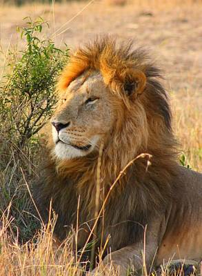 Male Lion Poster by Amanda Stadther