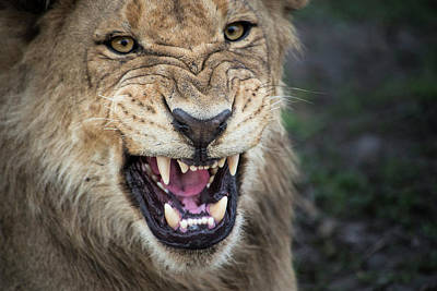 Male Lion Growling, Close Up (large Poster by Sheila Haddad