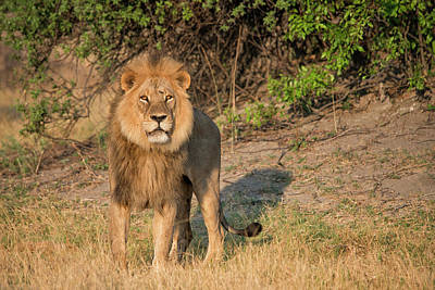 Male Lion Looking At Viewer,in Poster by Sheila Haddad