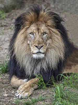 Male Lion Portrait Poster