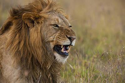 Male Lion Snarling In Ol Pejeta Poster by Ian Cumming