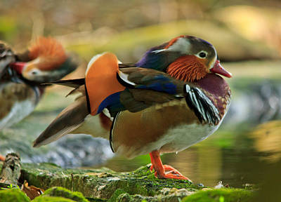 Poster featuring the photograph Male Mandarin Duck On A Rock by Eti Reid