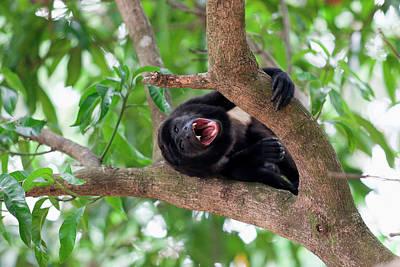 Male Mantled Howler Monkey (alouatta Poster by Susan Degginger