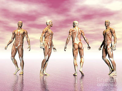 Male Muscular System From Four Points Poster