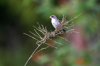 Male Of White-bellied Seedeater Poster
