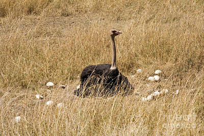 Male Ostrich Sitting On Communal Eggs Poster