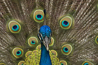 male Peacock close up Poster by Darleen Stry