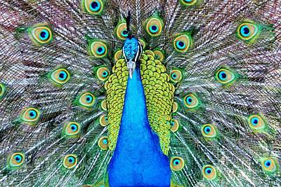 Male Peacock Poster