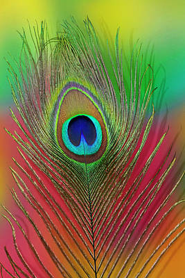 Male Peacock Display Tail Feathers Poster