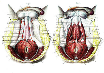 Male Perineum Poster by Collection Abecasis