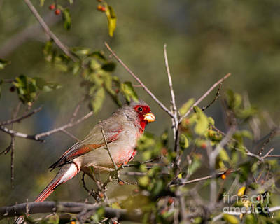 Pyrrhuloxia In Autumn Poster
