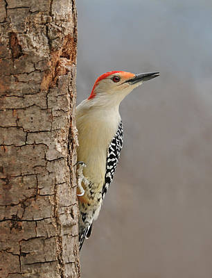 Male Redbellied Woodpecker 1 Poster by Lara Ellis