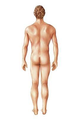 Male Superficial Anatomy Poster by Asklepios Medical Atlas