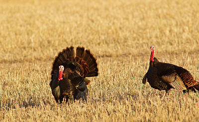 Male Tom Turkeys In Breeding Plumage Poster