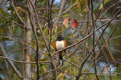 Male Towhee Poster
