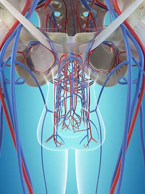 Male Vascular System Poster by Sciepro