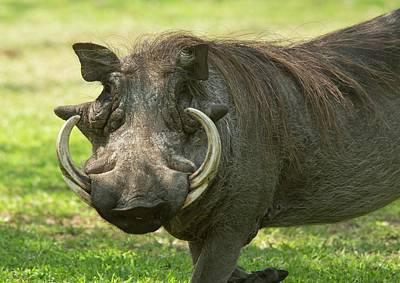Male Warthog Poster