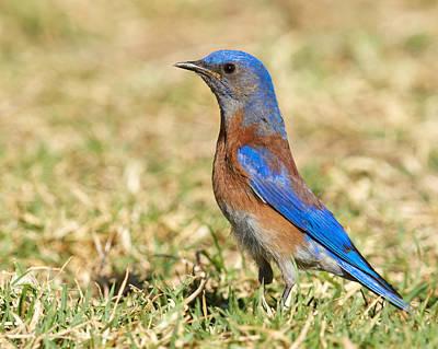 Male Western Bluebird Poster