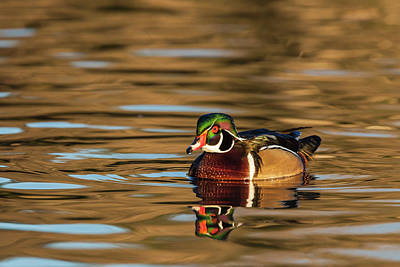 Male Wood Duck Reflected In The Golden Poster