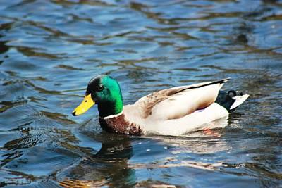 Poster featuring the photograph Mallard Duck by Judy Palkimas