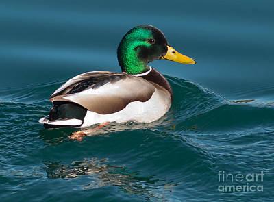 Mallard Duck  Poster by Loriannah Hespe