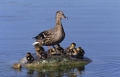 Mallard Duck With Chicks Poster