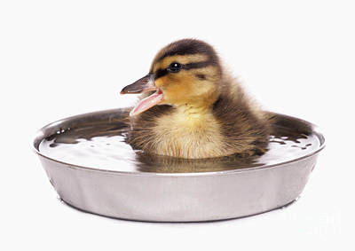 Mallard Duckling Poster by Chris Brignell/FLPA