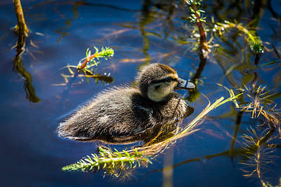 Mallard Duckling Swimming, Flatey Poster