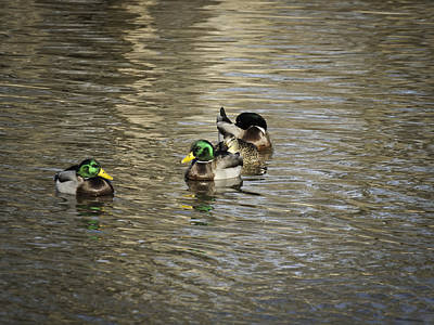 Mallard Ducks Poster by Thomas Young