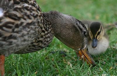 Mallard Hen And Duckling Poster