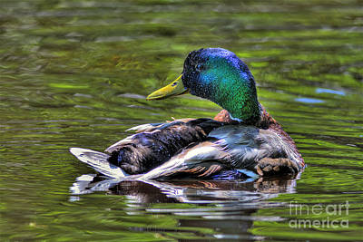 Mallard Tone Mapped Poster by Sharon Talson
