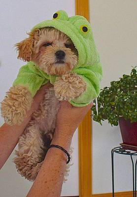 Poster featuring the photograph Malti-poo Frog A True Mongrel by Brenda Pressnall