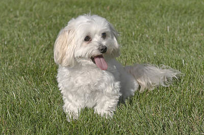 Maltipoo Puppy Sitting In The Grass Poster