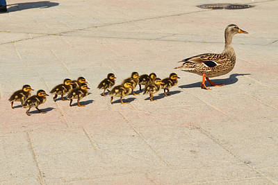 Mama Duck And Eleven Ducklings Poster