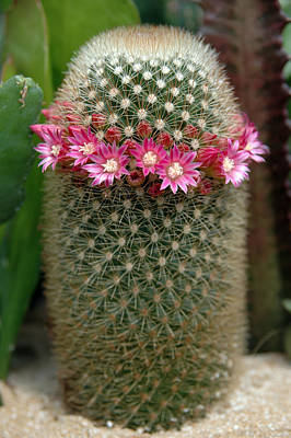 Mammillaria Pincushion Cactus In Bloom Poster by Rob Huntley